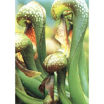 Carnivorous plants seeds - 12701 Darlingtonia california