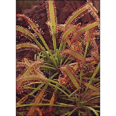 Σπόροι σαρκοφάγων φυτών - 12702 Drosera capensis