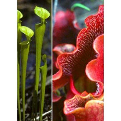 Σπόροι σαρκοφάγων φυτών - 12704 Sarracenia purpurea - Sarracenia flava mix