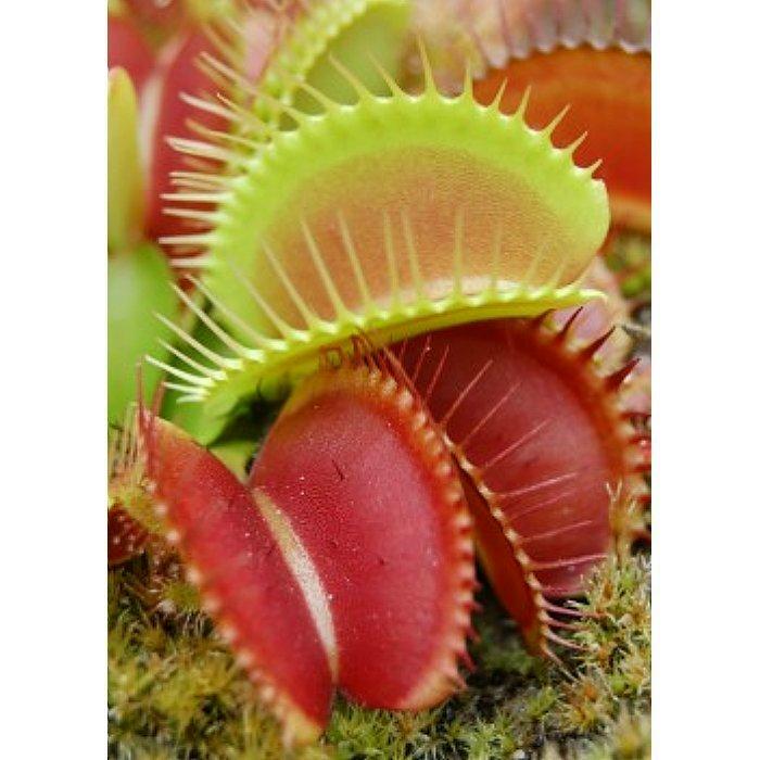 Σπόροι σαρκοφάγων φυτών - 12705 Dionaea muscipula