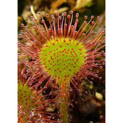 Σπόροι σαρκοφάγων φυτών - 12711 Drosera rotundifolia