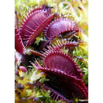 """Carnivorous plants seeds - 12713 Dionaea muscipula """"Claytons Volcanic-Red"""""""