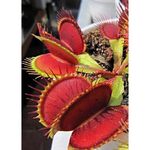 """Σπόροι σαρκοφάγων φυτών - 12714 Dionaea muscipula """"Big Mouth"""""""