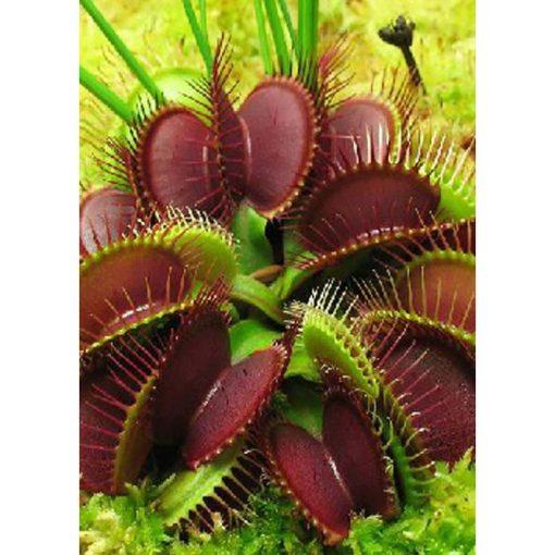 """Σπόροι σαρκοφάγων φυτών - 12715 Dionaea muscipula """"Clumping Culitvator"""""""