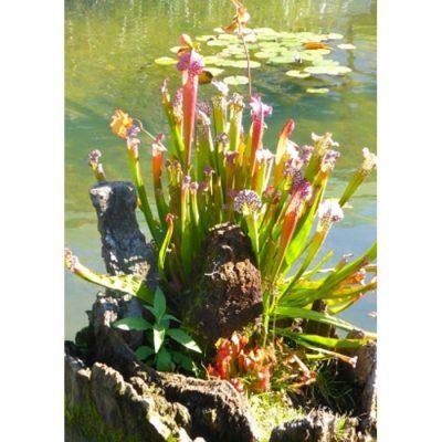 Σπόροι σαρκοφάγων φυτών - 20034 Sarracenia leucophylla