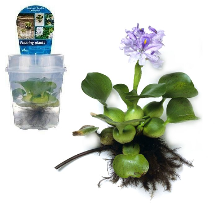 FP 01 Eichhornia crassipes (Υάκινθος του νερού)