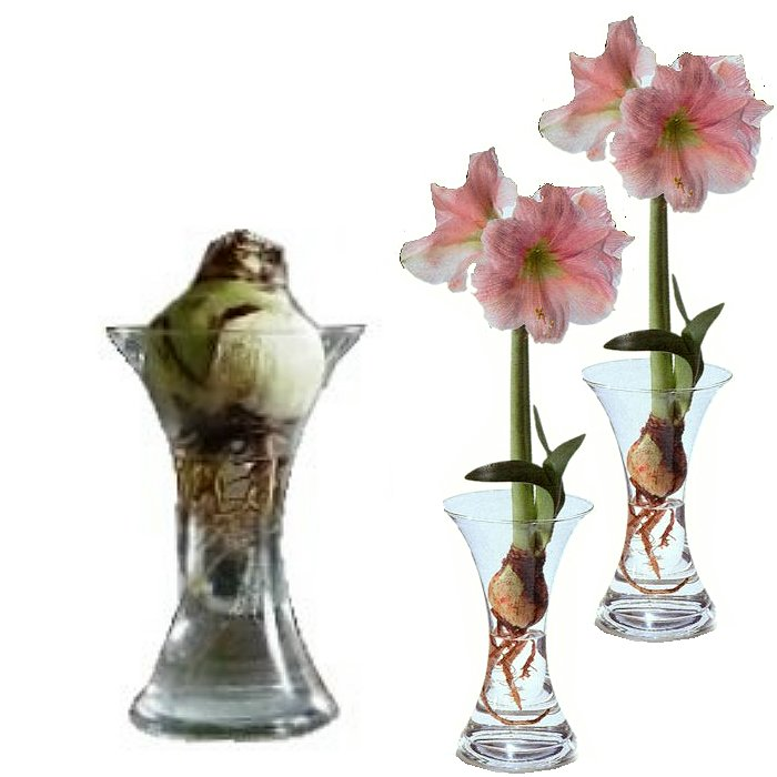 Bulbs in water - Amaryllis (set of 2 pieces)