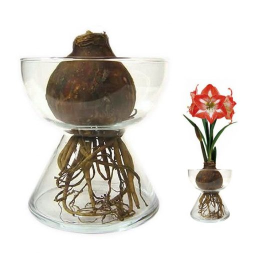 Bulbs in water - Amaryllis (red-white)