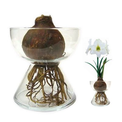 Bulbs in water - Amaryllis (white)
