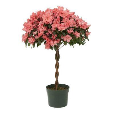 Αζαλέα δέντρο
