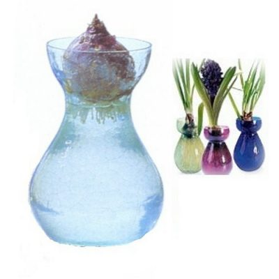 Bulbs in water - Hyacinthus
