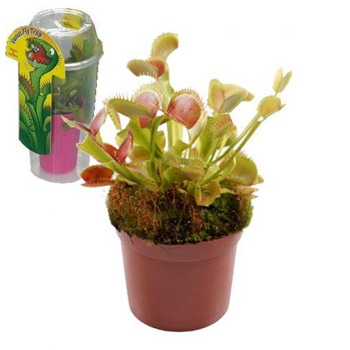 Σαρκοφάγα φυτά σε συσκευασία (γυάλα) - CAR01 Dionaea muscipula