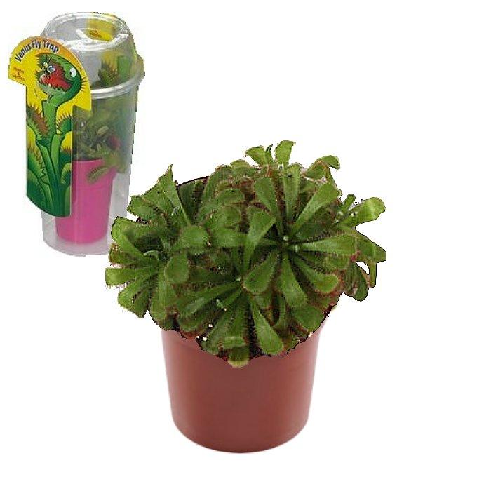 Σαρκοφάγα φυτά σε συσκευασία (γυάλα) - CAR02 Drosera aliciae