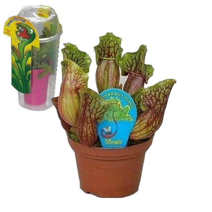 Σαρκοφάγα φυτά σε συσκευασία (γυάλα) - CAR03 Sarracenia purpurea