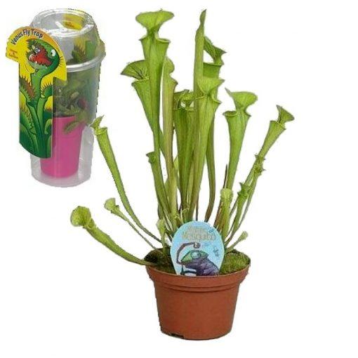 Σαρκοφάγα φυτά σε συσκευασία (γυάλα) - CAR04 Sarracenia flava