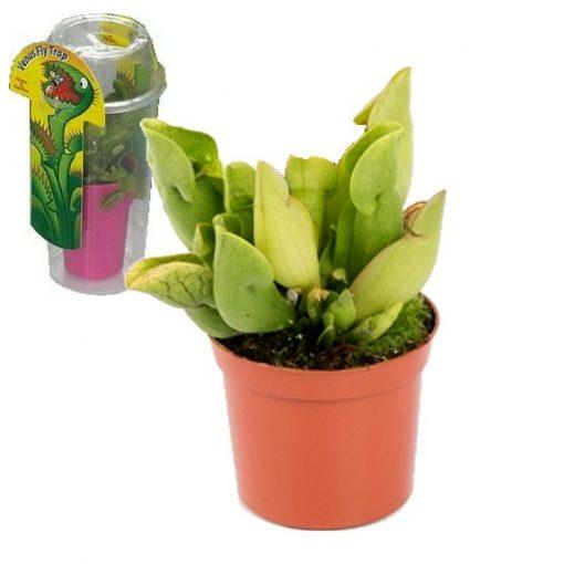 Σαρκοφάγα φυτά σε συσκευασία (γυάλα) - CAR05 Sarracenia purpurea heterophylla