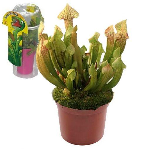 Σαρκοφάγα φυτά σε συσκευασία (γυάλα) - CAR06 Sarracenia Eva