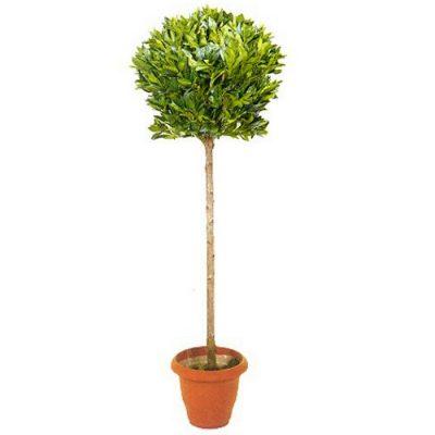 Τεχνητό φυτό – Δάφνη μπάλα μονή 315200