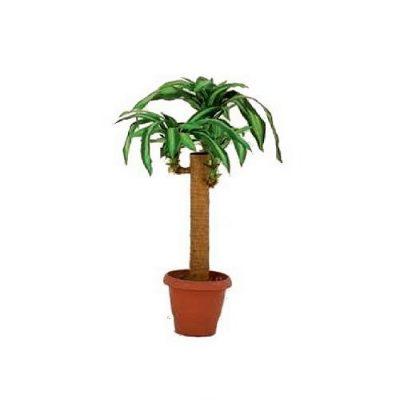 Artificial plant - Dracaena Massangeana 311500