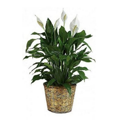 Spathiphyllum big