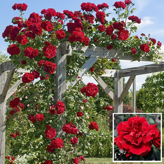 Τριανταφυλλιά σε φάκελο 13 - Etoile de Hollande