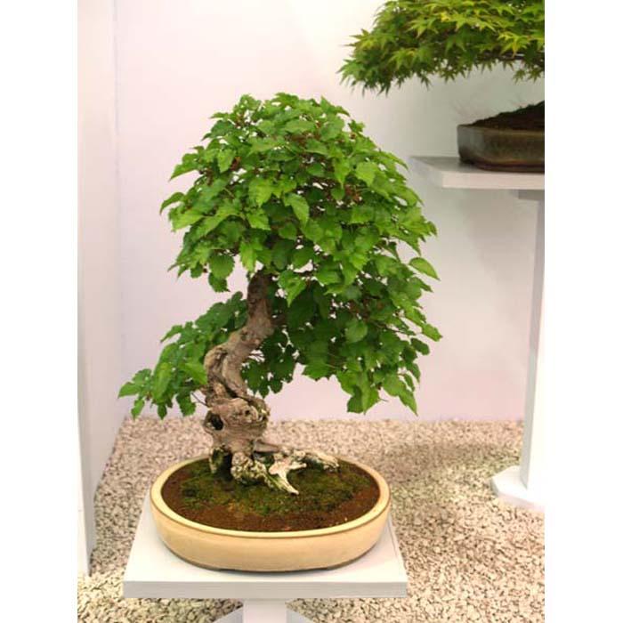 Σπόροι Bonsai - 14002 Morus alba