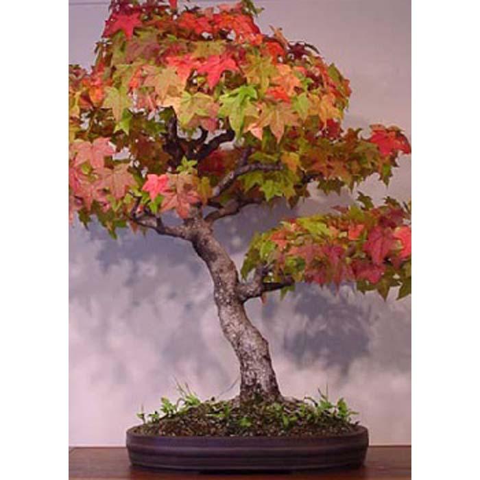 Σπόροι Bonsai - 14005 Liquidamber styraciflua