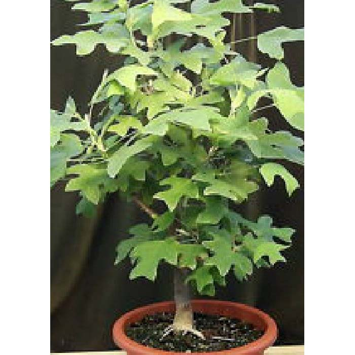 Σπόροι Bonsai - 14008 Liriodendron tulipifera