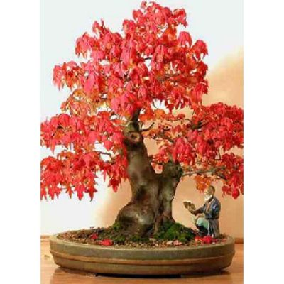 Σπόροι Bonsai – 14138 Acer rubrum