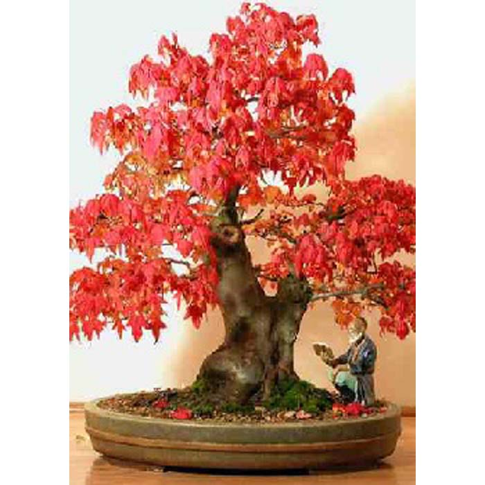 Bonsai Seeds 14138 Acer Rubrum Valentine E Shop