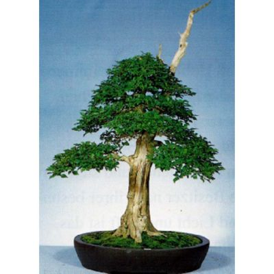 Bonsai Seeds – 14203 Vitex agnus - castus