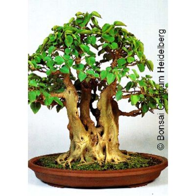 Bonsai Seeds – 14221 Ficus religiosa
