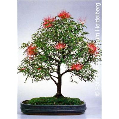 Σπόροι Bonsai – 14305 Calliandra haematocephala