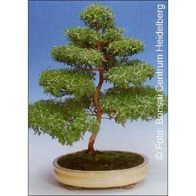Σπόροι Bonsai – 14314 Myrtus communis