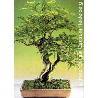 Σπόροι Bonsai – 14359 Tamarindus indica