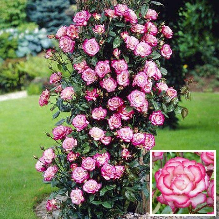 Τριανταφυλλιά σε φάκελο 15 - Handel