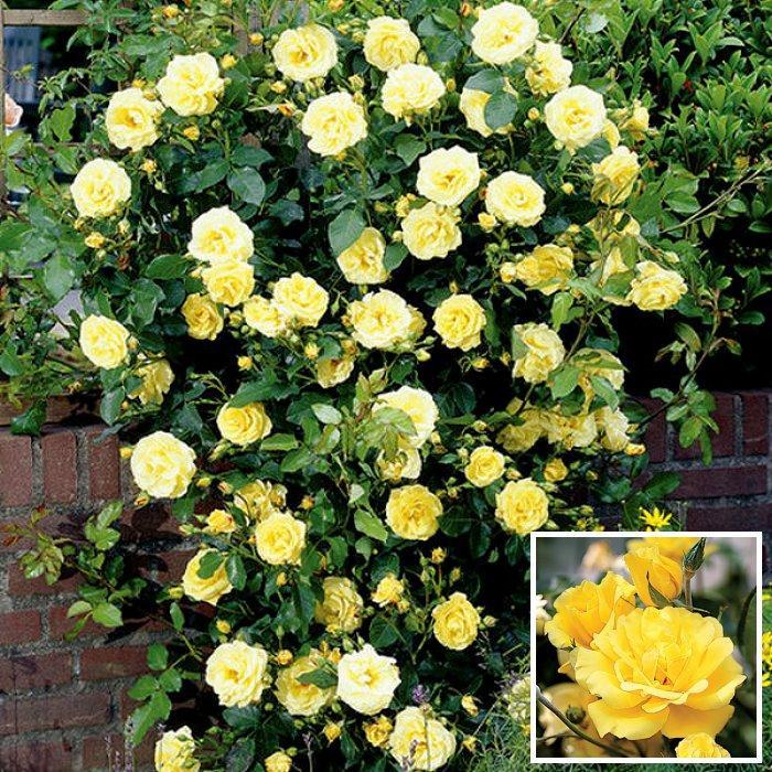 Τριανταφυλλιά σε φάκελο 16 - Golden Showers