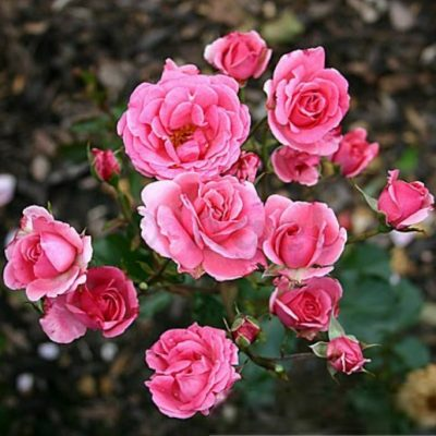 Bare-rooted rose 18 - Tom Tom
