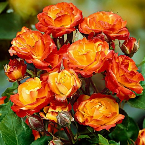 Bare-rooted rose 19 - Rumba