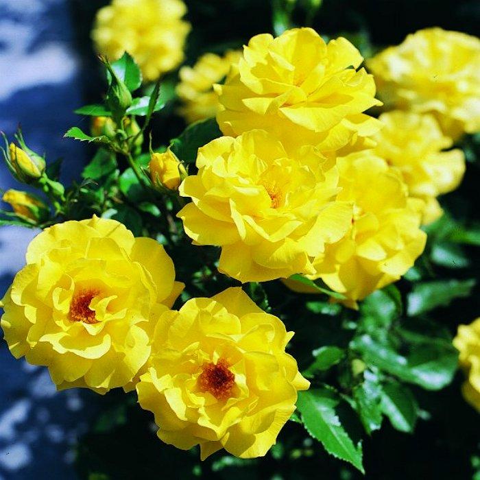 Τριανταφυλλιά σε φάκελο 20 - Friesia