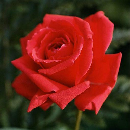 Τριανταφυλλιά σε σακούλα VLP201 - Red Dance