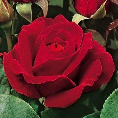 Τριανταφυλλιά σε σακούλα VLP342 - Rosso Scarlatto