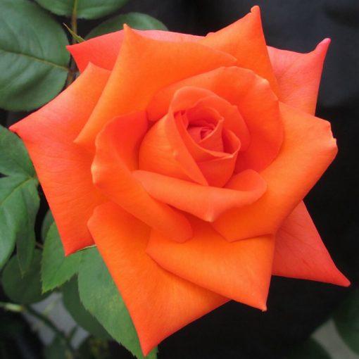 Τριανταφυλλιά σε σακούλα VLP408 - Armonia