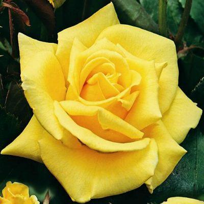 Bare-rooted rose VLP412 - Landora