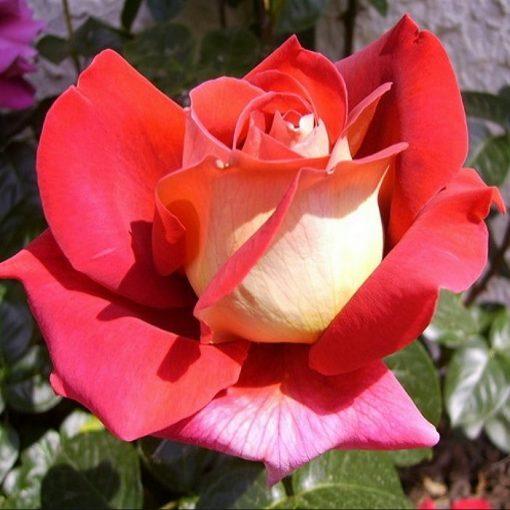 Τριανταφυλλιά σε σακούλα VLP416 - Kronenburg