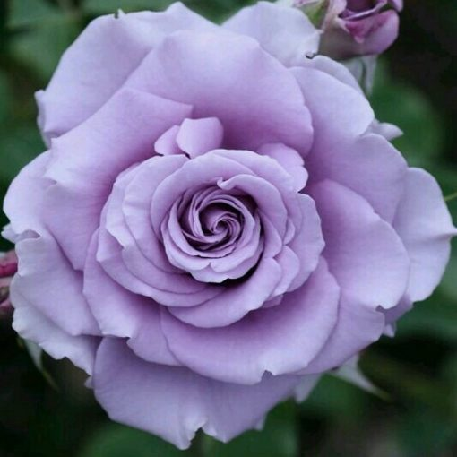 Bare-rooted rose VLP443 - Mauve Melodia