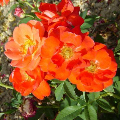 Bare-rooted rose VLP491 - Orange Sensation
