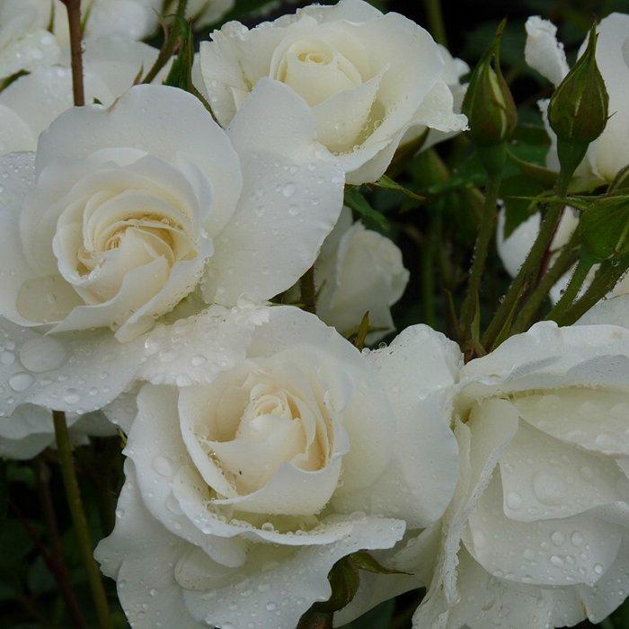 Τριανταφυλλιά σε σακούλα VLP493 - Biancaneve