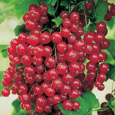 Bare-rooted fruitful shrub - Redcurrant (Ribes) 853