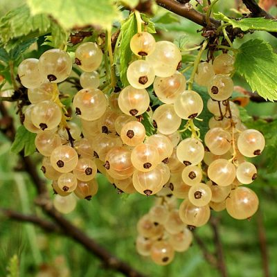 Bare-rooted fruitful shrub - Whitecurrant (Ribes) 851